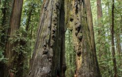 High redwood tree cut