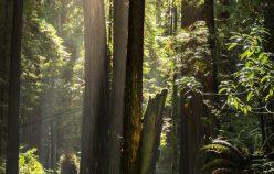 Lumiere sur les arbres de la foret redwood