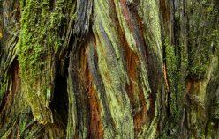 tronc de sequoia aux belles couleurs