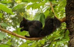 Ecureuil noir à Central Park