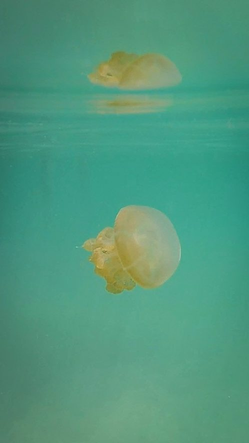 Jellyfish of Kakaban Lake, Indonesia