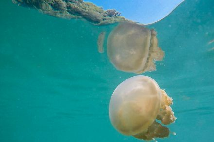 The 4 species of stingless jellyfish in the Kakaban lake