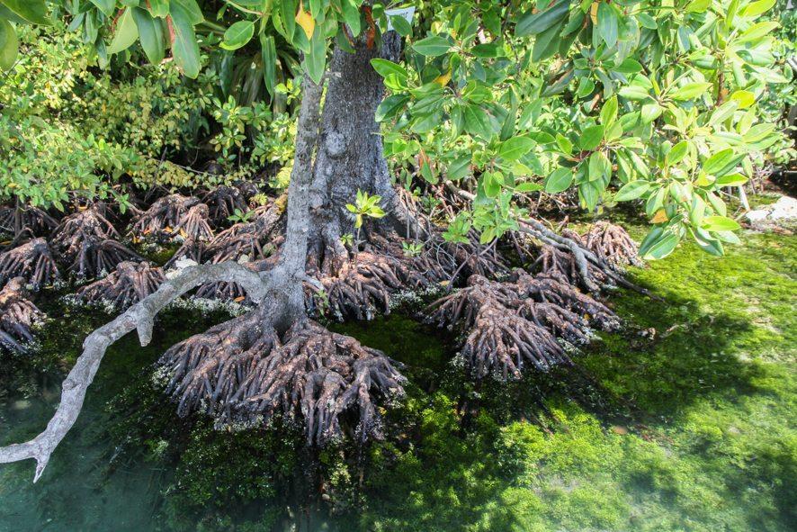 Mangroves de Kakaban, Indonésie