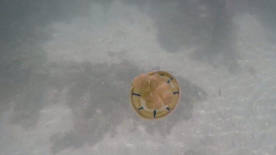 Mastigias Papua, meduse doree