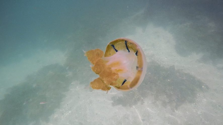 Mastigias Papua, spotted jellyfish