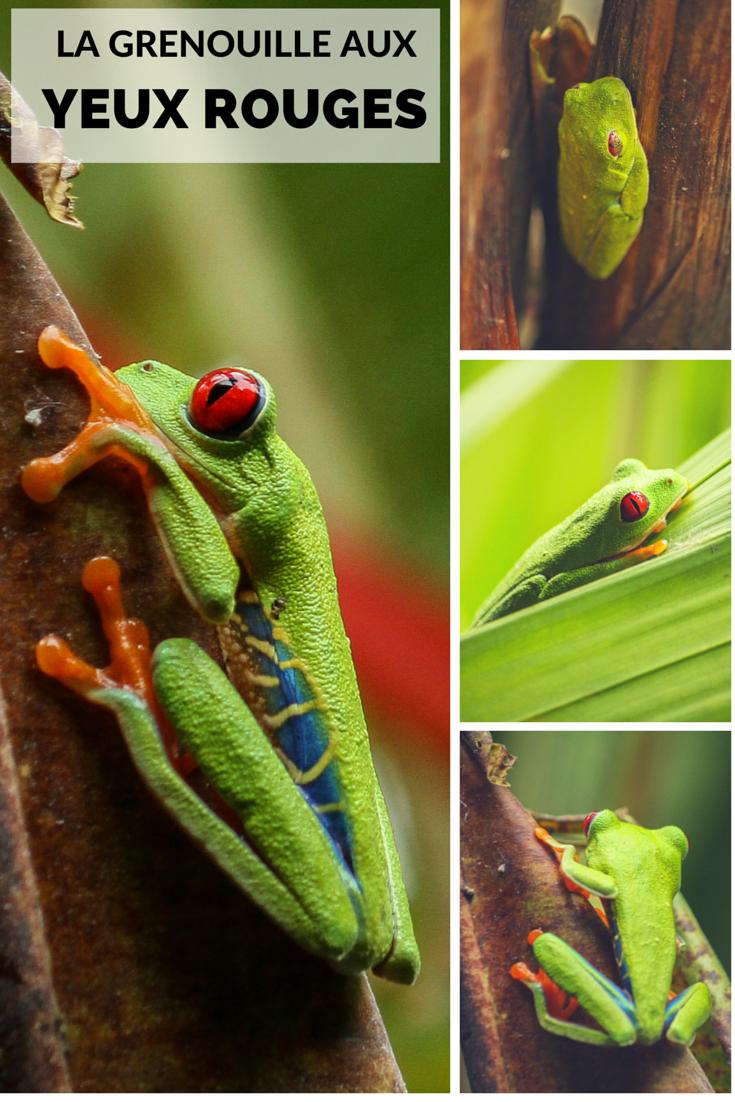 La magnifique grenouille aux yeux rouges du Costa Rica