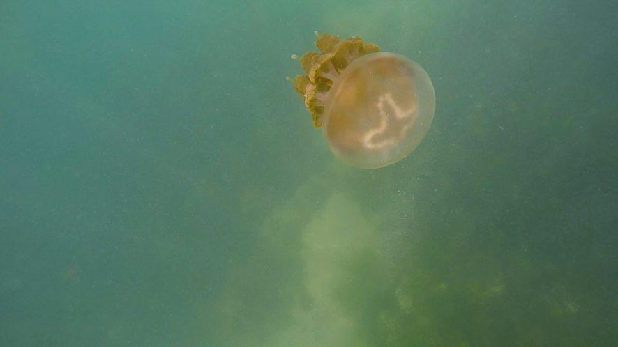 meduse doree