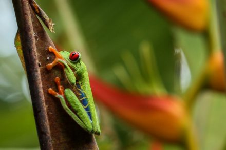 [:fr]Grenouille aux yeux rouges[:en]Red eyed tree frog[:]