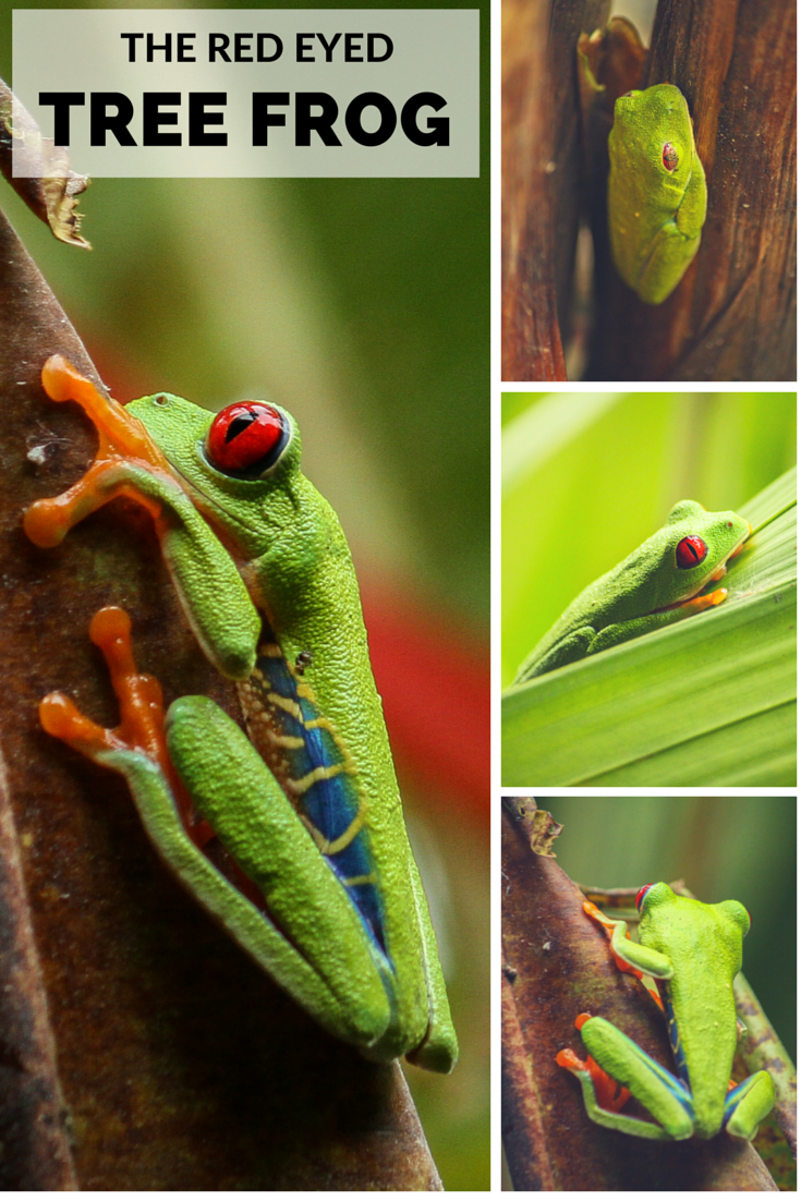 The beautiful red eyed tree frog of Costa Rica
