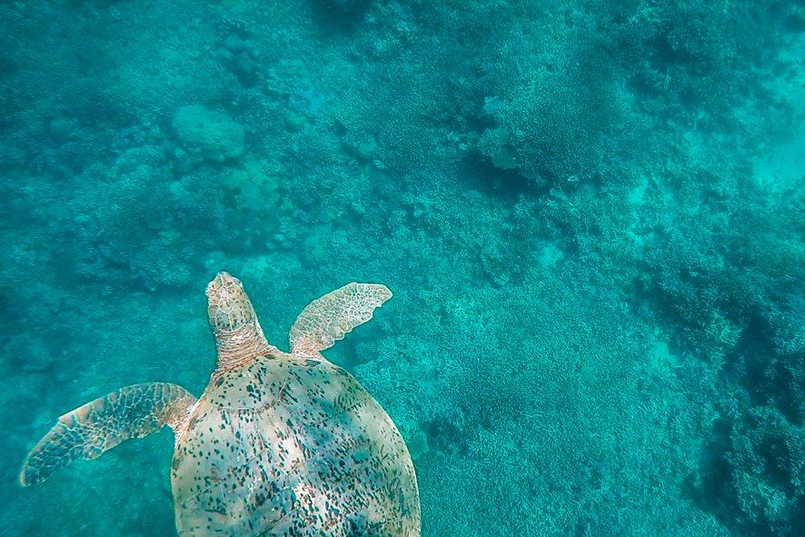 [:fr]Tortue autour de Sangalaki[:en]Turtle around Sangalaki island[:]