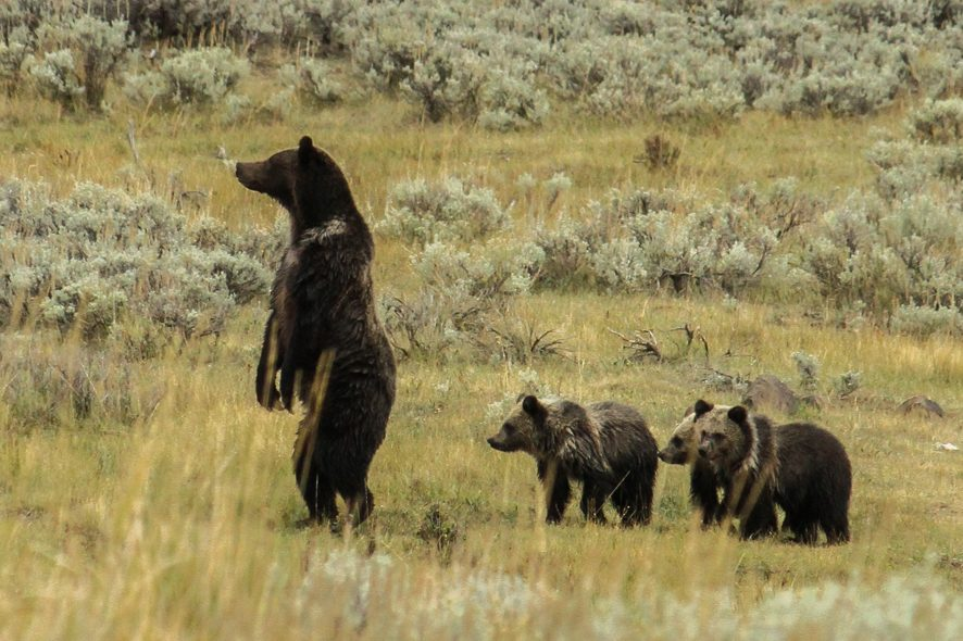 [:fr]Maman Grizzli et ses 3 oursons[:en]Mama Grizzli bear and her 3 cubs[:]