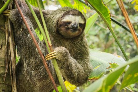[:fr]Paresseux a gorge brune[:en]brown-throated sloth[:]