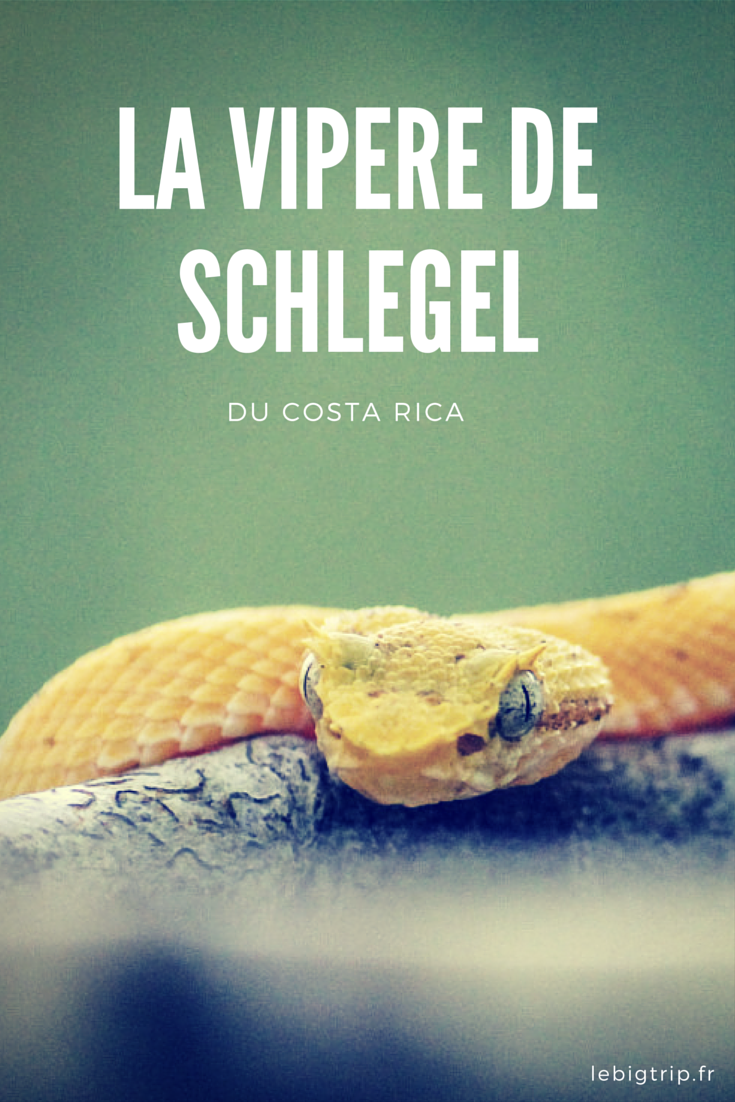 Cette vipère peut-être vue au Costa Rica. Elle a plusieurs noms : vipère de Schlegel, Oropel ou tout simplement vipère du Costa Rica.