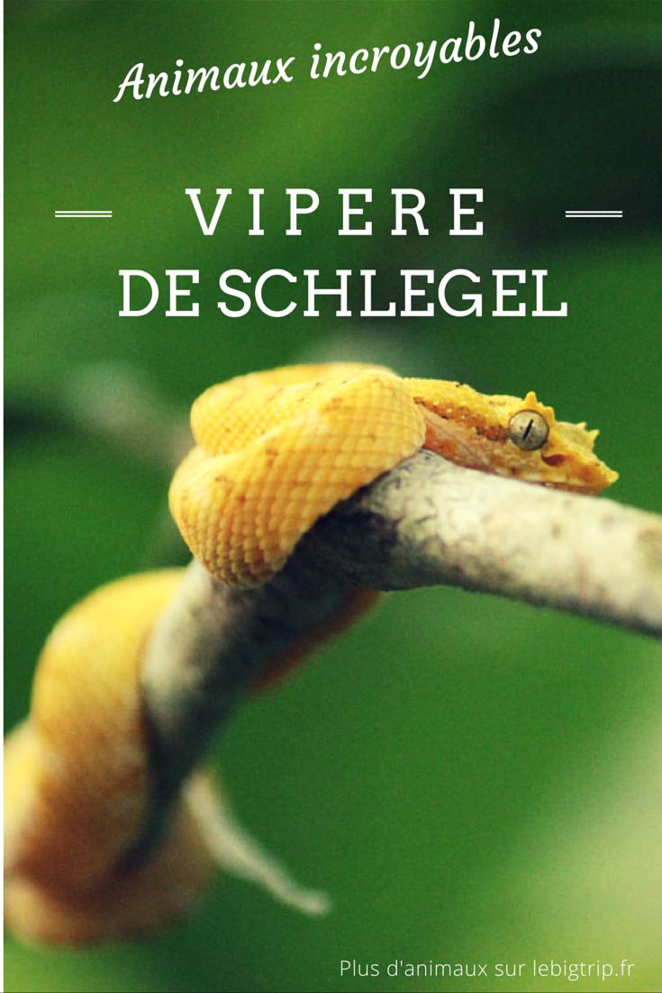 Cette vipère peut-être vue au Costa Rica. Elle a plusieurs noms : vipère de Schlegel, Oropel ou tout simplement vipère du Costa Rica. Magnifique, vous ne trouvez pas?