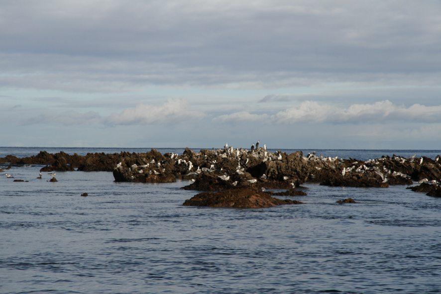 Cormorans, Kangaroo Island