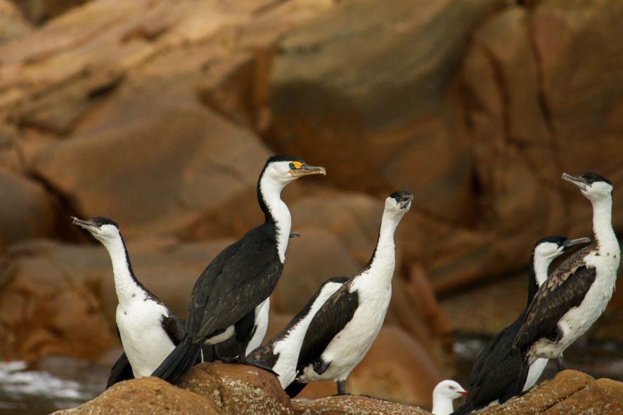 Cormorants, Kangaroo Island