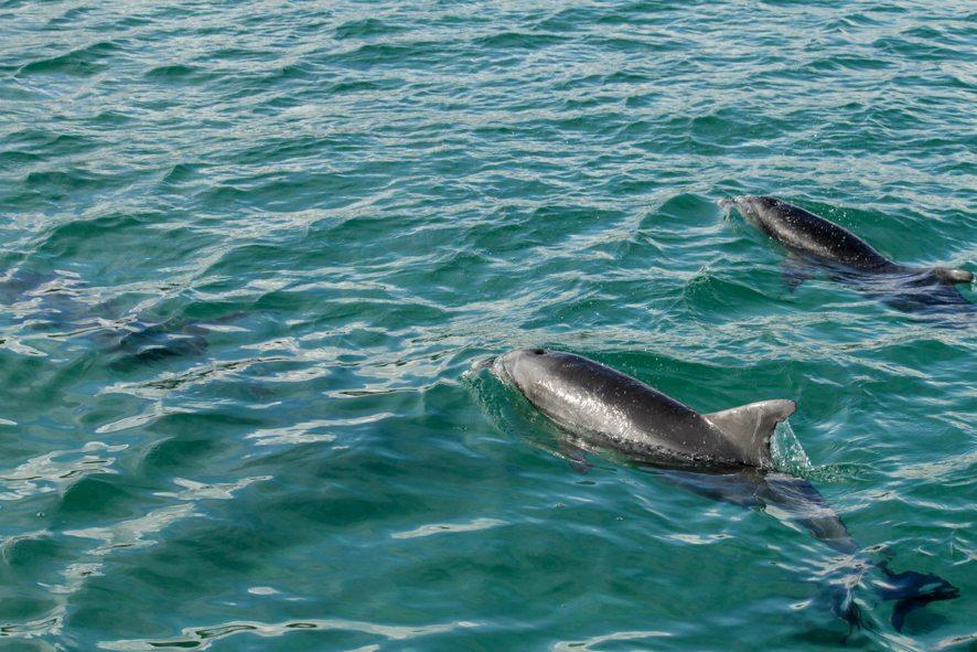 Wild Dolphins, Kangaroo Island