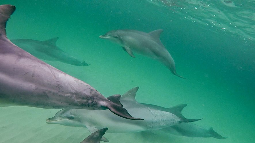 Dolphins, Adelaide