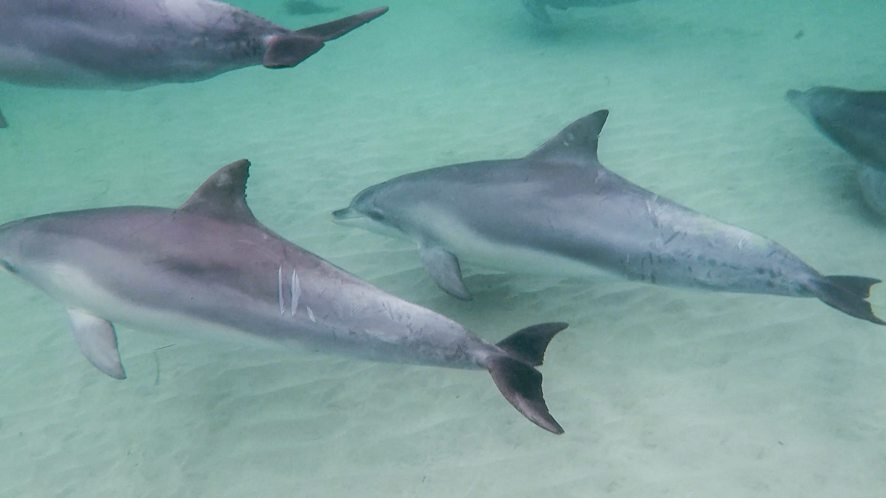 Nager avec les dauphins sauvages, Kangaroo Island