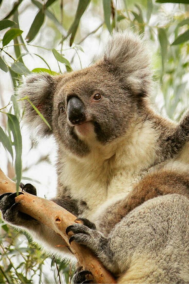 Kangaroo Island, Koala, Australie