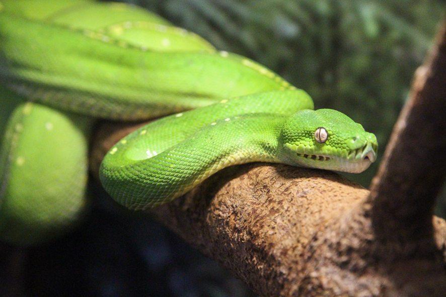 Les serpent du Daintree