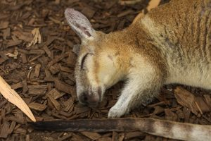 Nailtail Wallaby, Port Douglas