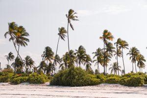 [:fr]Palmiers a Zanzibar, Tanzanie[:en]Palm trees in Zanzibar, Tanzania[:]