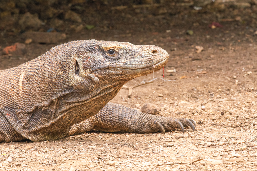 The dan gerous Komodo Dragons