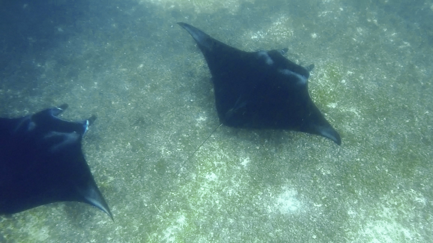Komodo is onte of the best places to spot manta rays